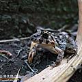 台灣 蛙類