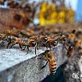 2019六月 蜜蜂農場採收的季節