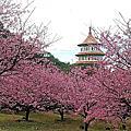 2018天元宮櫻花