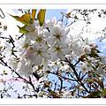 3/21/2009   阿里山。櫻花祭