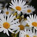 嬉遊秋菊之放肆採花