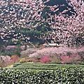 20160229武陵農場賞櫻趣