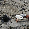 十七公里海岸線‧招潮蟹