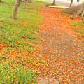 20080601 - 東海鳳凰花開