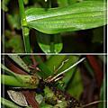 大苞水竹葉