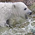 集-關於北極熊