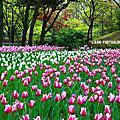 橫濱公園鬱金香