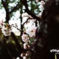 2009春‧阿里山櫻花紀