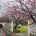 |台北‧北投|陽明山平菁街櫻花