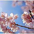 2015武陵農場櫻花