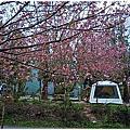 2017 台中NO.05武陵農場(落櫻繽紛,獼猴,櫻吹雪)