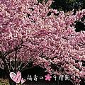 2019 台中和平。福壽山農場_千櫻園賞櫻[38露]