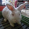 兔寶貝-queen