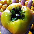 甜柿(恬適)!成熟了