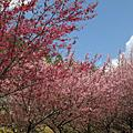 武陵櫻花之美104.2.25