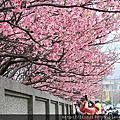 102追櫻熱之一-陽明山平菁街01.25