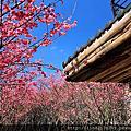 103追櫻-陽明山秘境櫻花林