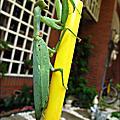 2011-0806 與綠葉合而為一的螳螂