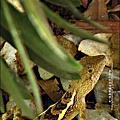 2011-0822 躲在羅漢松樹下的蜥蝪