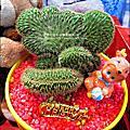2012-0118 聖誕節&過年佈置(多肉植物組合)