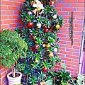 2012-1218-陶鍋變成聖誕紅組合盆栽