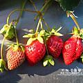 大湖-採草莓 2011-0102