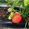 台南親子-南科觀光草莓園(不收門票) 高架草莓