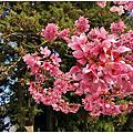 嘉義旅遊-賞櫻 阿里山森林遊樂區