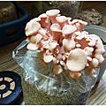 彰化親子旅遊-魔菇部落~神農有機蘑菇農場