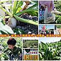 高雄親子-美濃白玉蘿蔔季親子拔蘿蔔-滿滿好多蘿蔔
