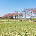 台南旅遊-學甲苓子寮木棉花道滿滿的木棉花海學甲光華里民活動中心蜀葵花花季