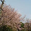 2009/3/16淡水賞櫻