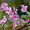早春的櫻花 七分醉