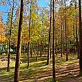 泰安的冷杉木林