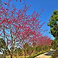 蓮臺山的八重櫻