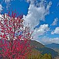 尖石後山的櫻花