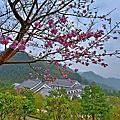 雲霧中的蓮臺山昭和櫻