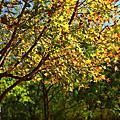 台灣平地的楓葉紅了