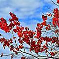烏桕樹葉紅了