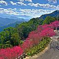 台灣山櫻紅遍協雲宮