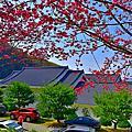 蓮臺山八重櫻盛開