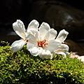 2009-05-03 小粗坑桐花與新埔南園