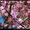 雪梨櫻花節-Auburn Botanic Gardens