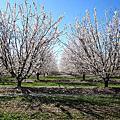 Fresno Blossom Trail ♫ Mar. 2012