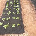 地瓜葉如何種植