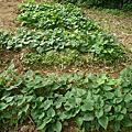 新北市雅萍、樂樂、玉珍所種植的地瓜葉