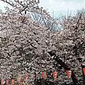 東京賞櫻之旅-家人行程