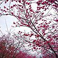 [櫻] Feb.2015 泰安派出所&新竹公園