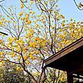 億載金城的黃花鈴木