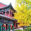 2015北京秋天自由行大觀苑銀杏